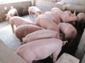 猪价拐点在哪里 猪价反弹在眼前?养殖户该如何应对猪周期?
