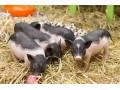 生猪价格蠢蠢欲动上涨 消费市场不佳 猪价涨跌两难