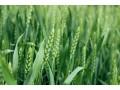 小麦价格还有上涨动力,小麦市场量价齐升!交易火爆!农民别错过