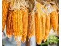 """农民说玉米价格突破1元/斤咋就这么难?警惕玉米市场""""风险"""" !"""