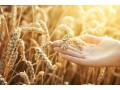 小麦供给仍偏紧,小麦价格仍以稳为主,后市麦价还有上涨希望!