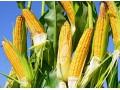 玉米价格偏强运行,库存市场偏低,玉米价格高位坚挺!农民谨慎!
