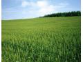 小麦价格仍在上涨,2018小麦补贴还有吗?2018年小麦行情如何?