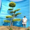 衡水德润景观  金叶榆造型树/园林绿化树种/景观造型树