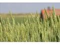 小麦价格再次进入下行通道,小麦市场后市风险大!2018年不乐观!