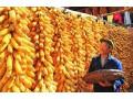 玉米价格要步入1元时代吗?玉米价格普涨,大涨,或遇天花板!