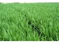 4月小麦价格下行有增无减 ,小麦市场购销疲软,麦价预计以降为主