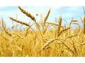 小麦价格稳中澳门永利娱乐平台,小麦处于澳门永利娱乐平台通道!农民想卖小麦就出手吧!