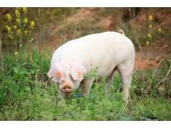 生猪价格已触底,养猪进入一个微利年代!五一猪价能涨上去么?