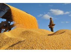 玉米价格短期难有起色,玉米价格跌破8毛!玉米拍卖!下跌开启!