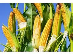 玉米价格整体走势较弱?2018春播是种玉米还是不种?玉米震荡运行