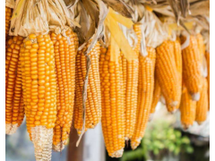 玉米市场风险骤增,玉米价格出现暴跌!玉米价格行情趋弱运行