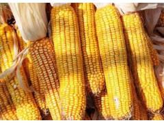 玉米价格持续走低,玉米行情震荡将加剧!玉米市场步入新阶段!