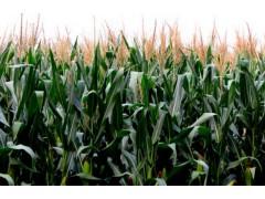 玉米价格还能涨几天?触底反弹上涨空间有多大?市场会有转机吗?