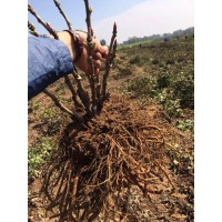 观赏牡丹苗、全网最低价格、菏泽牡丹种植基地