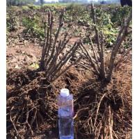 观赏牡丹苗、2019年牡丹种植、牡丹种苗批发