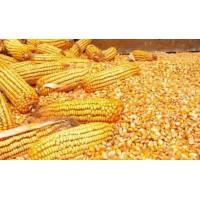 汉江常年收购玉米荞麦高粱黄豆碎米等饲料原料