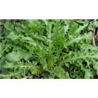 大叶荠菜种子菱角菜种子,优质野菜种子