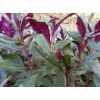 补血菜种苗,紫