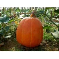 巨型大南瓜种子