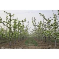 【山西李子树】-山西李子树价格报价-一新农业网