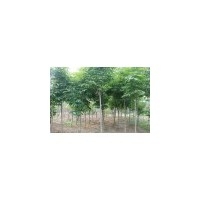 【楸树价格】、楸树价格专题-农业种植信息、山西楸树基地