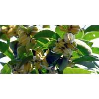 翅果油种苗、二年生翅果油、运城翅果油批发市场