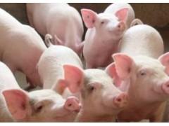 猪肉价格将有恢复性上涨 生猪价格涨跌互现 猪价还有很大上涨空间