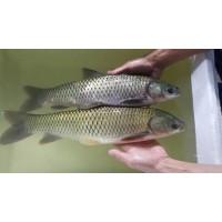 供应翡翠草鱼