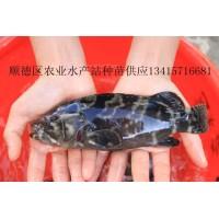 淡水龙趸鱼苗、龙趸鱼