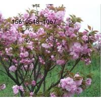 樱花树苗8公分